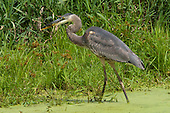 Great Blue Heron Editorial and Stock images