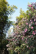 """France, Languedoc Roussillon, Gard, Cévennes, Anduze, Prafrance, La Bambouseraie, Camellia Japonica """"Donation"""""""