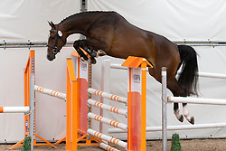 072 -Ezuduela<br /> KWPN Paardendagen - Ermelo 2012<br /> © Dirk Caremans