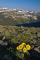 Alpine sunflowers, (Hymenoxys grnadiflora) found on the alpine tundra along Trail Ridge Road, Rocky Mountain National Park. Colorado.