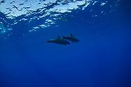 Common bottlenose dolphin-Grand dauphin (tursiops truncatus), Red sea, Sudan.