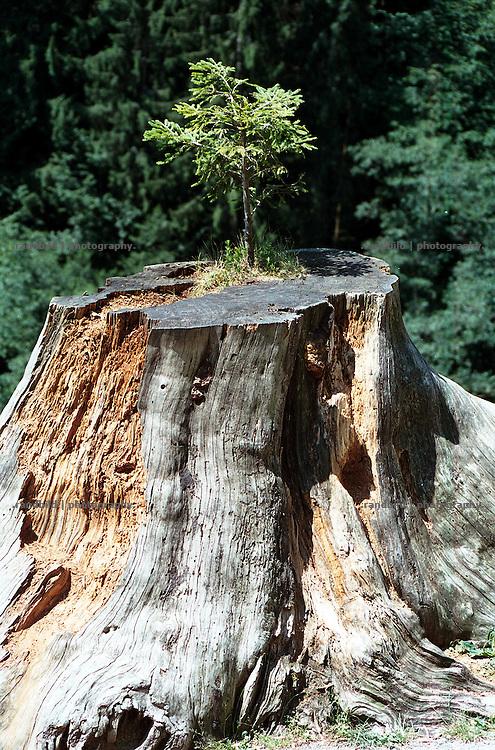 Im slowenischen Predjama waechst eine neue Tanne aus dem grossen morschen Baumstumpf...A reborn tree in Predjama, Slovenia.