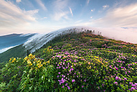 A bank of fog hugs the peaks of the Roan Highlands during the annual wild Catawba Rhododendron bloom ass seen from Grassy Ridge, a spur trail off the Appalachian National Scenic Trail along the state borders of North Carolina and Tennessee.