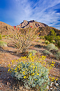 Brittlebush and ocotillo under Indianhead Peak, Anza-Borrego Desert State Park, California USA
