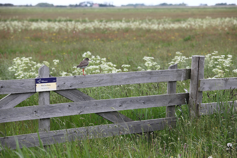 Redshank (Tringa totanus), Texel, the Netherlands