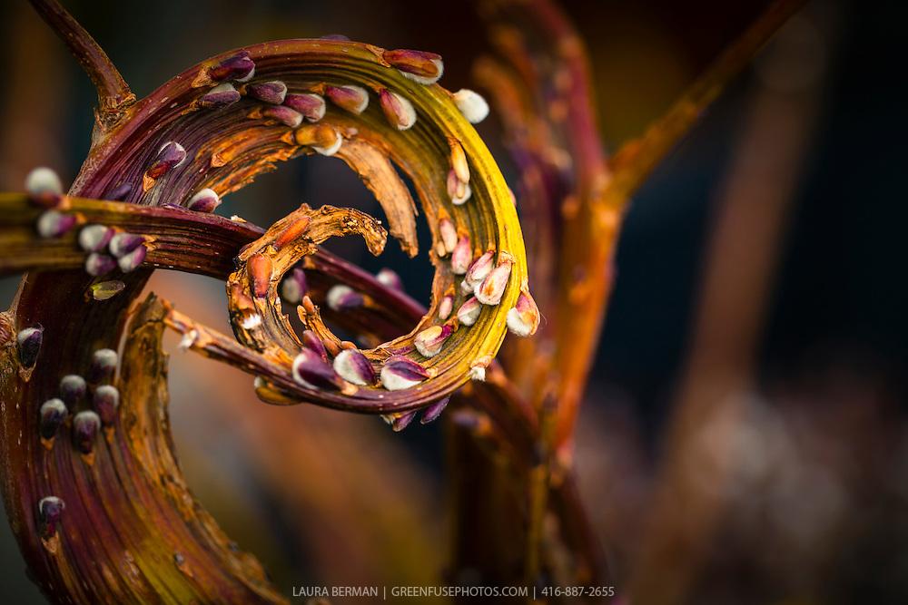 Japanese Fantail Willow also called Dragon Willow 'Sekka' (Salix sachalinensis)
