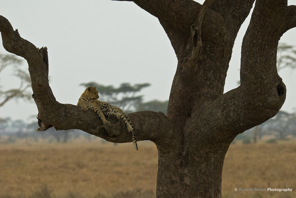 A lone Leopard rests in a tree in the Serengeti National Park, Tanzania