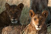 Lions (Panthera leo), Okavango delta, Botswana.