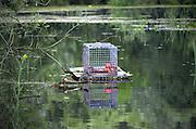 Nederland, The Netherlands, Ooijpolder, 21-6-2016Een val,  voor muskusratten in het water langs de dijk van de Waal, Rijn . Muskusrattenbeheer plaatst de vallen  De dieren worden bestreden omdat zij schade toebrengen aan de rivierdijk .Foto: Flip Franssen