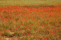 red Poppy fields near Aix en Provence, France - Photograph by Owen Franken