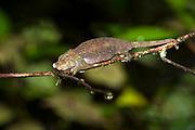 Nose-horned chameleon (Calumma nasuta) from Ranomafana NP, eastern Madagascar.