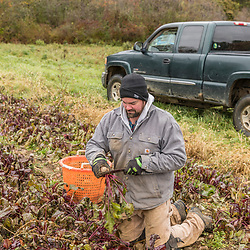 A man harvests beets on a farm on Kinney Hill in South Hampton, New Hampshire.