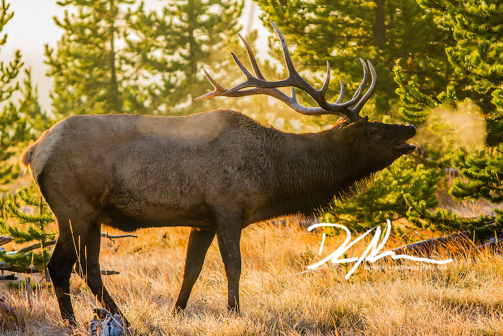 A Bull Elk bugles during sunrise. His breathe shows off the frigid temperature
