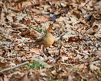 Female Northern Cardinal feeding on the ground. Image taken with a Nikon D300 camera and 80-400 mm VR lens (ISO 200, 400 mm, f/5.6, 1/320 sec).