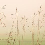 Tall grasws in a field in a heavy fog in Pepperell field.