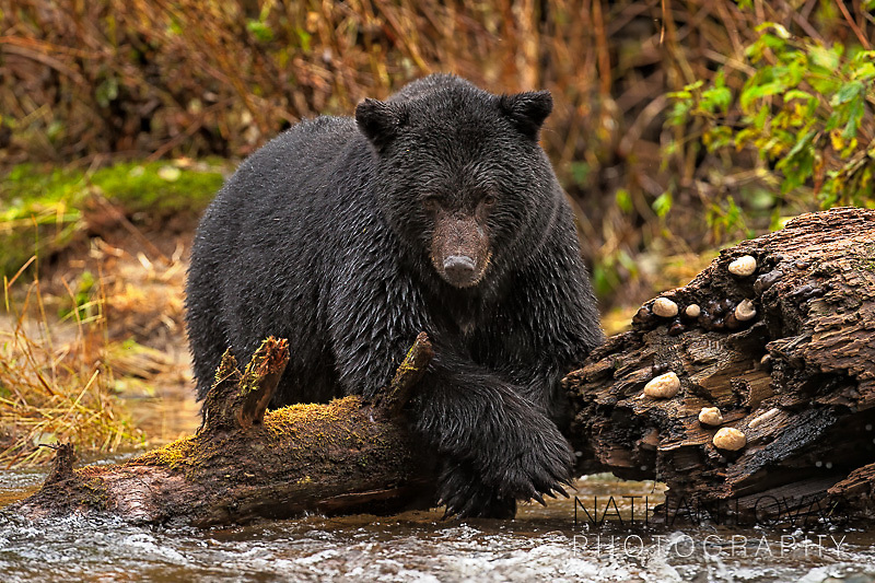 Black Bear resting on fallen tree while fishing for salmon;  British Columbia .