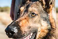 Belgian Melanois Anti-Poaching Dog, South African Wildlife College, Limpopo Province, South Africa