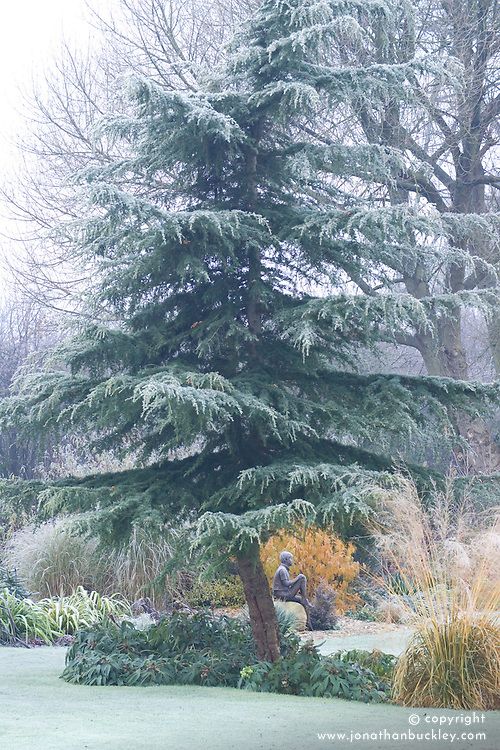 Cedrus deodara - Cedar in winter. Statue of Boy on Rock beyond