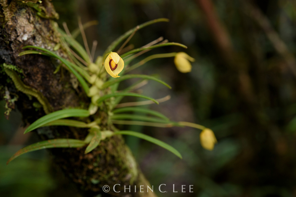 This miniature orchid (Bulbophyllum amauroloma) grows on small branches in the understory of mossy montane forest. It is endemic to the island of Sulawesi.