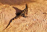 Iguana on the beach on Isla de Holbox, Mexico.