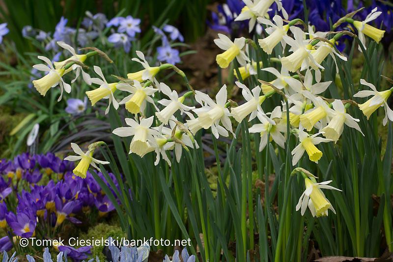 Narcissus 'Snipe'