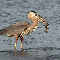 Ardea herodias, Texas City dike, eating fish