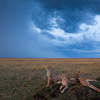 Africa, Kenya, Masai Mara Game Reserve,  Cheetah (Acinonyx jubatas) and adolescent cubs resting on termite mound with approaching storm clouds at sunset