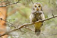 Ural owl, Strix uralensis, at breeding site, Greater Laponia rewilding area, Lapland, Norrbotten, Sweden