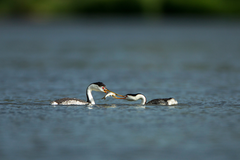 USA, Oregon, Klamath Falls, Male Western Grebe (Aechmophorus occidentalis) offers gift of fish during courtship in Upper Klamath Lake on spring evening