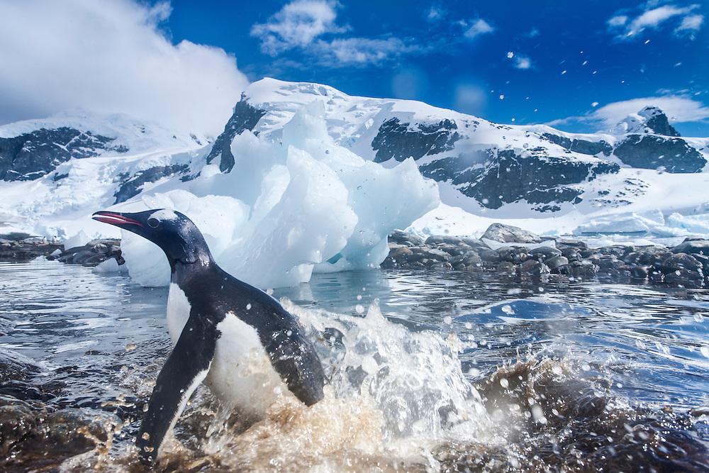 Antarctica, Gentoo Penguin (Pygoscelis papua) splashes in shallows along Cuverville Island's shoreline