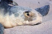 nesting Kemp's ridley sea turtle, Lepidochelys kempii  ( endangered species ), close-up of head, Rancho Nuevo,  Mexico ( Gulf of Mexico )