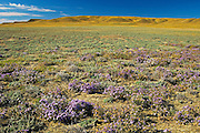 Grasslands in bloom with asters  (West Block) <br /> Grasslands National Park<br /> Saskatchewan<br /> Canada
