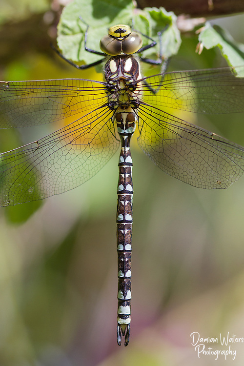 Southern Hawker dragonfly, Aeshna cyanea, resting on vegetation, Wirral - July