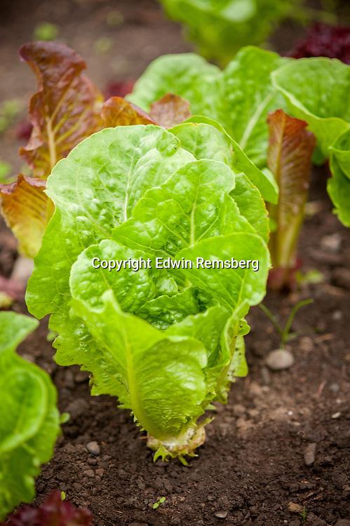 Head of lettuce growing
