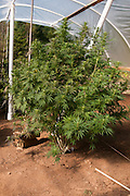 Medicinal marijuana plant growing in Oregon.