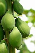 Papayas in tree.
