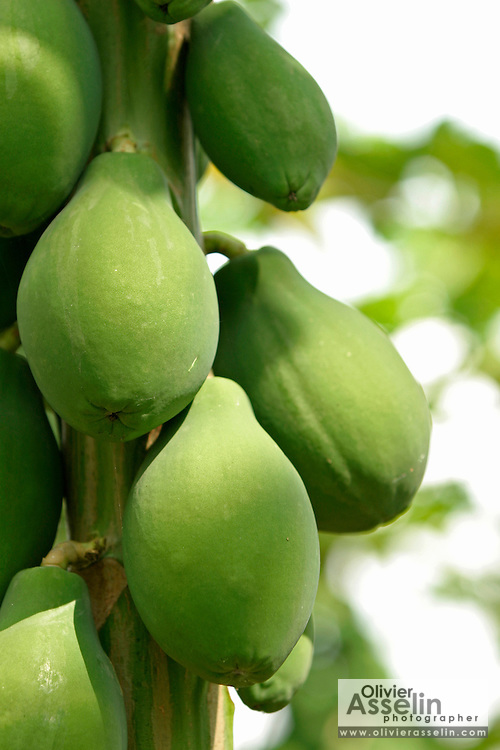 Papayas in tree.