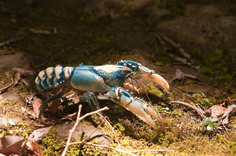 Blue Crayfish, Albert River Circuit, Lamington National Park, Queensland, Australia