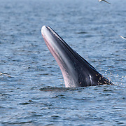 This is a male Eden's whale (Balaenoptera edeni edeni) known as Mesa, demonstrating the Drawbridge technique for feeding on anchovies. The whale raises his head above water to approximately eye level, then drops his lower jaw rapidly as if lowering a drawbridge. He then maintains a stationary, mouth-open position for an extended period of time, sometimes up to 30 seconds, during which time anchovies jump into his mouth. When he collects sufficient fish, he closes his mouth and reenters the water. Mesa is part of an isolated population of Eden's whales, which are a neritic member of the Bryde's whale complex, that live in the shallow waters of the Gulf of Thailand. It is likely that there are 50 or less in the population. Photo 1 in sequence of 7 photos illustrating beginning of Drawbridge technique.