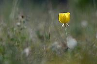 Turban Buttercup (Ranunculus asiaticus), Limassol, Cyprus