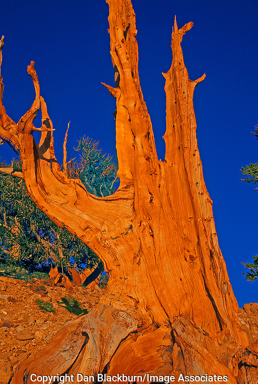 Afternoon Light on Ancient Bristlecone Pine, White Mountains, California