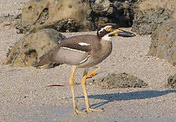 Beach curlew