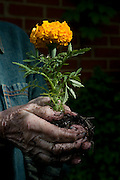 St. Louis, Missouri, USA: an 83-year-old woman, with a wistful expression, holding a marigold seedling. (Photo: Ann Summa/Getty Images, 5/10/2008).