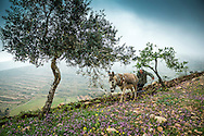 Palestine, March 2015. A farmer and his donkey plow the land on the hiking trail between Awarta and Duma. The Abraham Path is a long-distance walking trail across the Middle East which connects the sites visited by the patriarch Abraham. The trail passes through sites of Abrahamic history, varied landscapes, and a myriad of communities of different faiths and cultures, which reflect the rich diversity of the Middle East. Photo by Frits Meyst / MeystPhoto.com for AbrahamPath.org