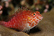 Spotted hawkfish (Cirrhitichthys aprinus) Raja Ampat, West Papua, Indonesia, Pacific Ocean | Gefleckter Korallenwächter (Cirrhitichthys aprinus) Raja Ampat, West Papua, Indonesien, Pazifischer Ozean