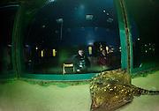 der weiblichen Nagelrochen (Raja clavata) beobachtet die Besucher des Schauaquariums. Das Forschungs-, Lehr- und Schauaquarium der Biologischen Anstalt Helgoland (BAH) übt auf Besucher als lebendiges Schaufenster in die Unterwasserwelt der Nordsee eine starke Anziehungskraft aus. |