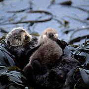Sea Otter, (Enhydra lutris) Mother holding newborn baby on stomach in kelp bed. Aleutian Islands. Alaska.
