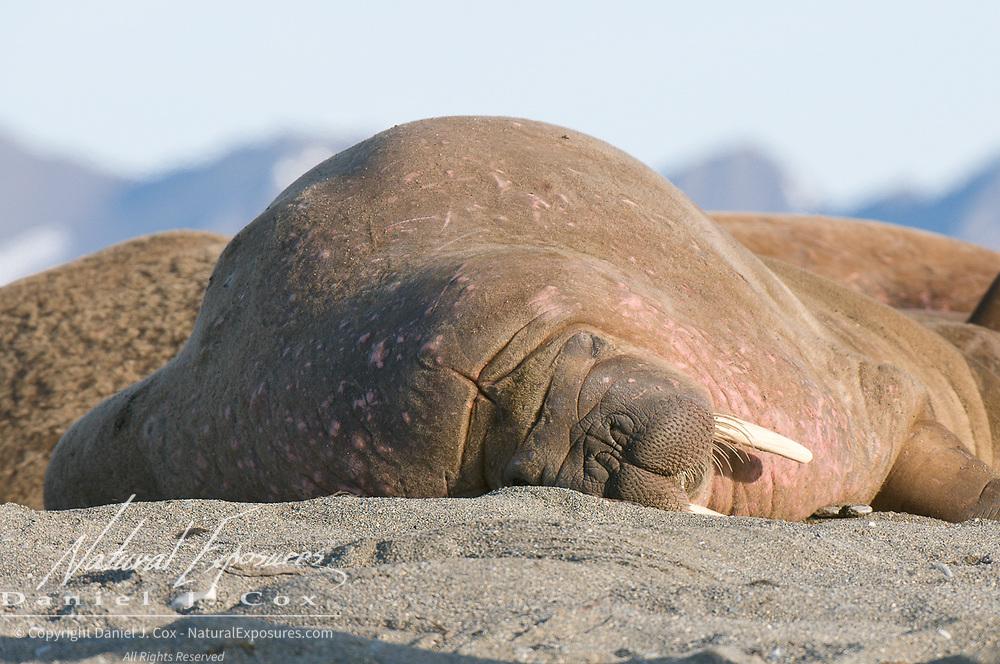 Walrus near Poole Point, Svalbard, Norway.