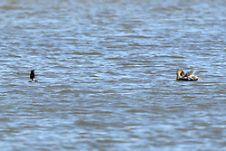 Red-breasted Merganser (Mergus serrator).  Male on left, female on right.<br /> <br /> The red-breasted merganser is the most widespread of the mergansers, a group of fish-eating ducks also known as saw-bills due to their long, narrow, serrated beaks.