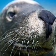 Face to face with a large male Australian sea lion (Neophoca cinerea) at Carnac Island in Western Australia